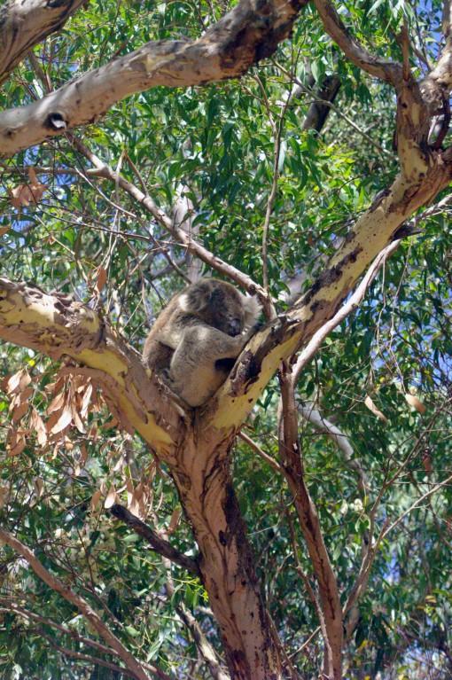 Koala confortablement installé