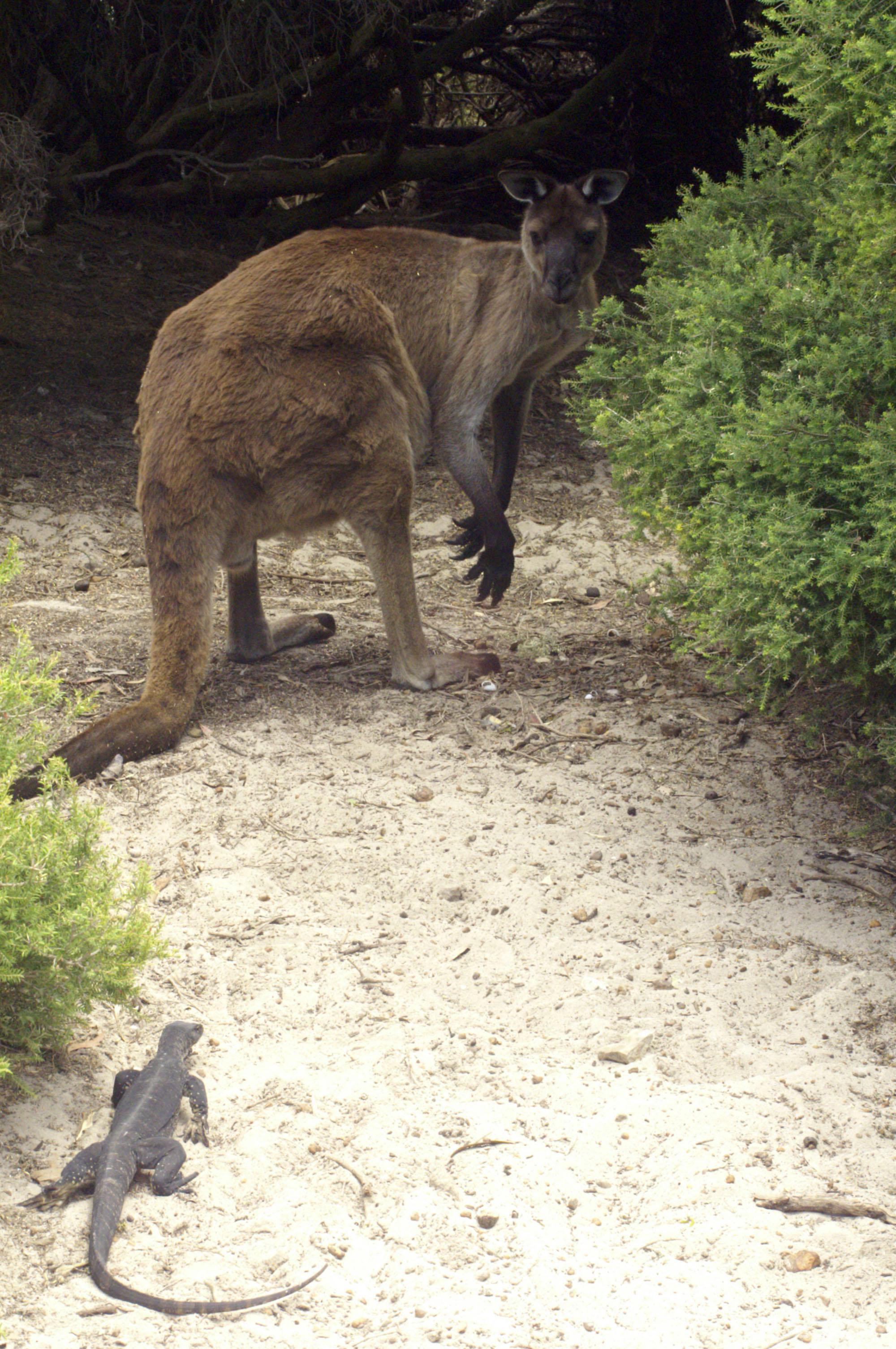 Rare et surprenante rencontre entre iguane et kangourou