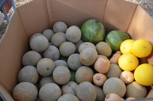 Water-melon, Honey dew, Rock melon & Butter nut