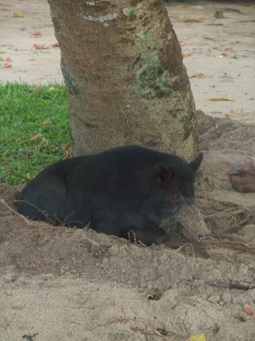 Cochon en sursis